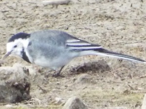Wagtail Sept 2015 (2)