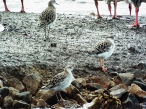 Ruff, Male (Pink Legs) and two Female or Juvenile, Martin Mere Wetlands