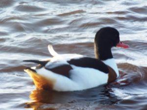 Shelduck. Martin Mere Wetlands (2)