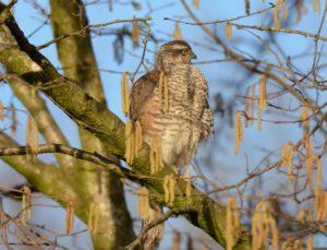 Sparrowhawk GH
