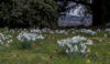 Snowdrops at Barlaston Hall