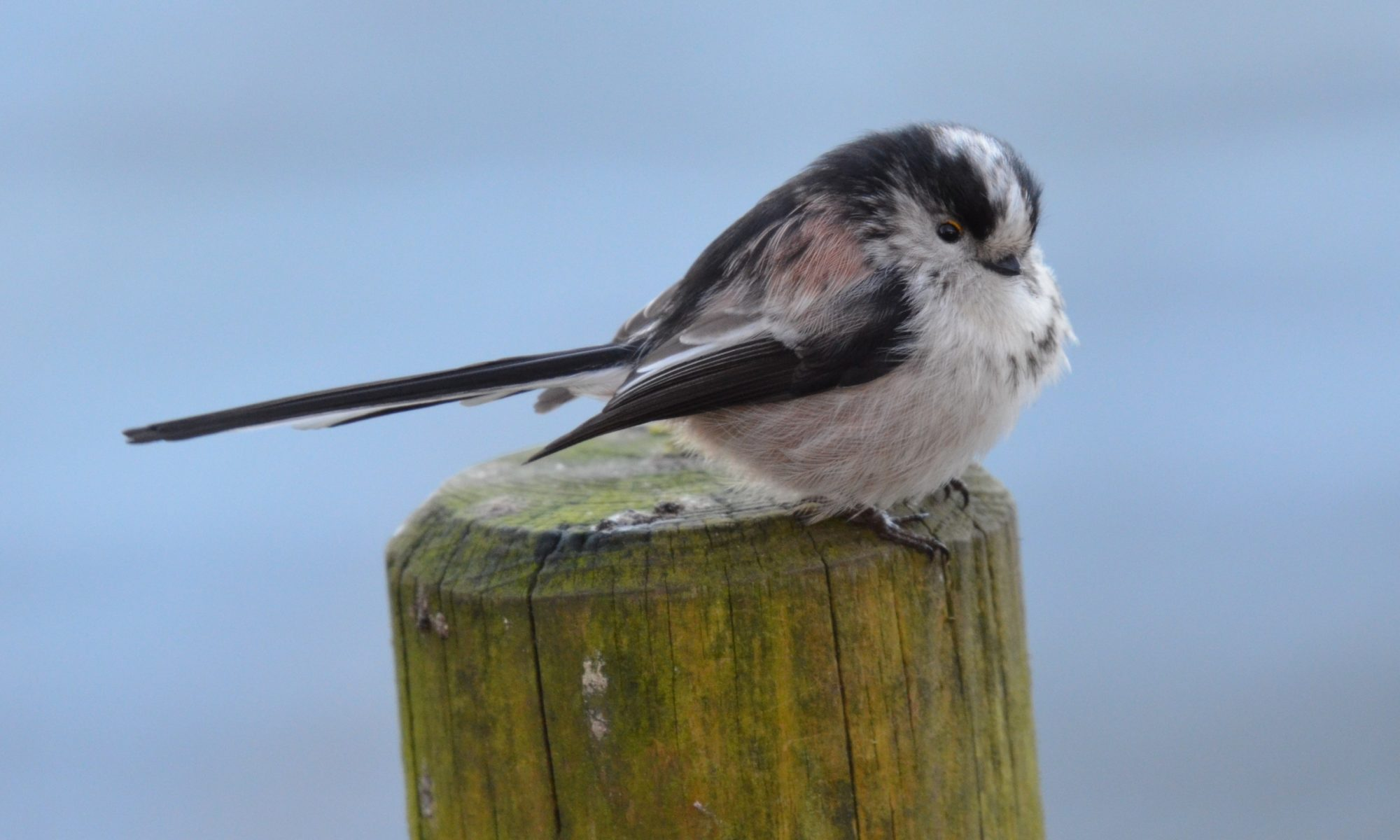 Long-tailed-tit on post
