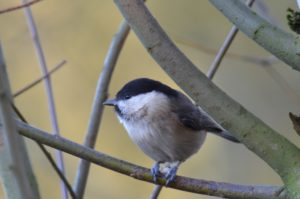 Tittesworth Willow Tit