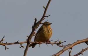 Meadow Pipit (GH)