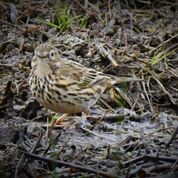 Mud or Meadow Pipit