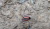 Cinnabar Moth - grounded & possibly trampled