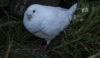 Dove or kittiwake - seen on the recce