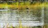 Black Tail Godwit (2) Sandbach Flashes