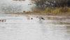 Canada Geese & Barnacle Goose Sandbach Flashes