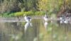 Mallard & Greylag Geese Sandbach Flashes