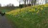 Golden daffodils at Malkins Bank