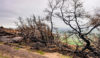 Trees burned in the August blaze