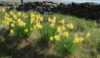 Daffodils on the Gritstone Trail