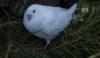 Dove or kittiwake - seen on the recce