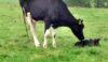Gives the calf a good licking